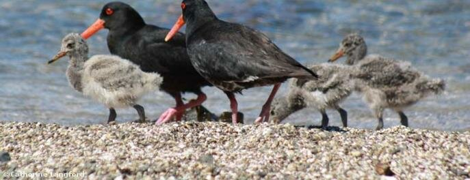 Oyster catchers on Roberton Island, one of the bigger of the 144 islands in the Bay known for its twin lagoon.