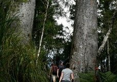 Adventure Puketi Kauri Forest Walks :: click here for more information